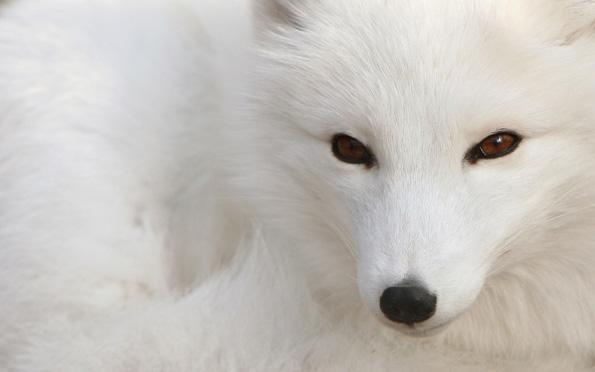 скачать торрент белый лис