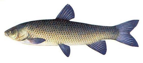 Белый Амур- крупная рыба, которая относится к семейству карповых.