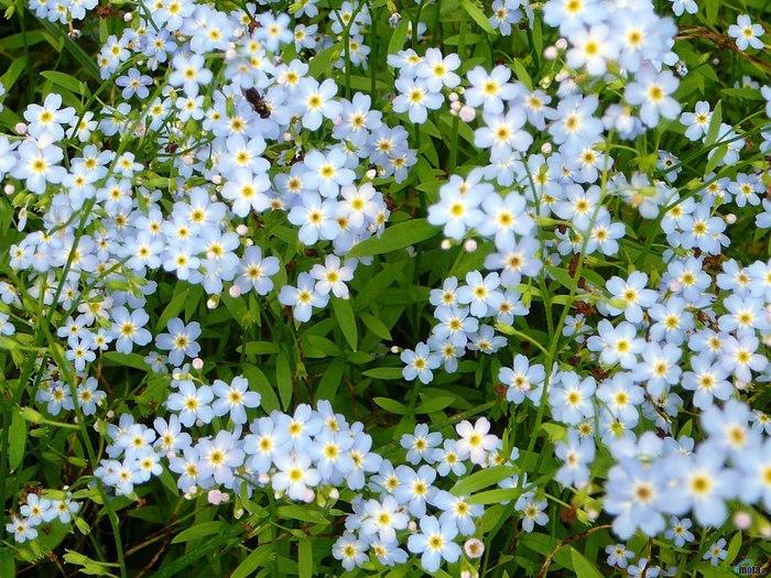 Незабудки - однолетние или многолетние травы небольших размеров, обыкновенно...