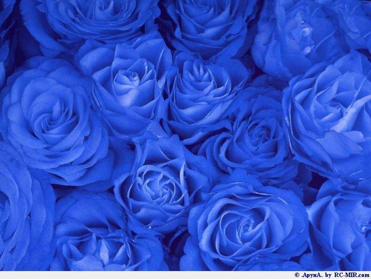Увитая синими розами беседка в глубине сада.
