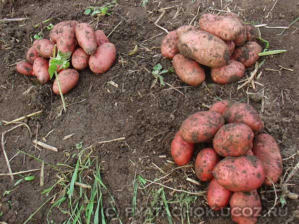 Рядом с чем можно и нельзя сажать помидоры? Огород 39