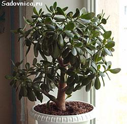 ... (Crassulaceae), или денежное дерево