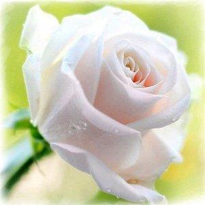 роза01