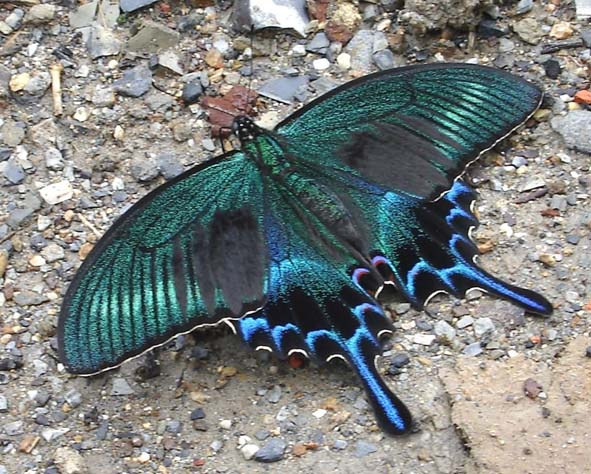 бабочка из бисера - Самое интересное в блогах - LiveInternet.ru.  Метки: бисер бисероплетение бижутерия...