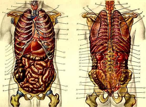На физическом плане особое значение имеет переработка веществ, т.е. внутренние органы человека...  Рисунок 1.1.