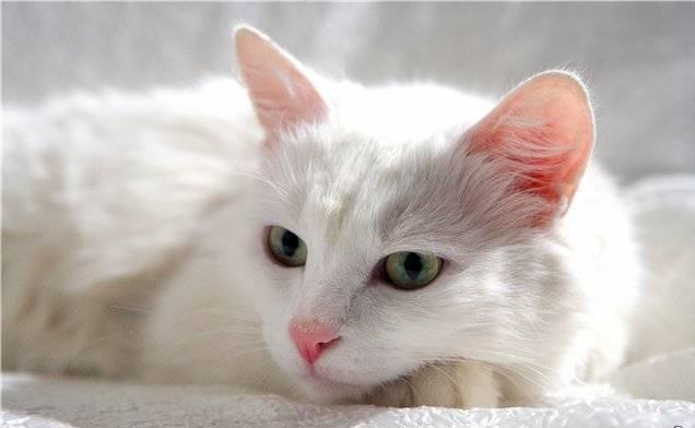 Белая и пушистая кошка.  Её шерсть блестит на свету.