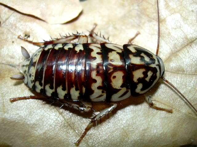 Фото Мадагаскарский таракан в домашних условиях.