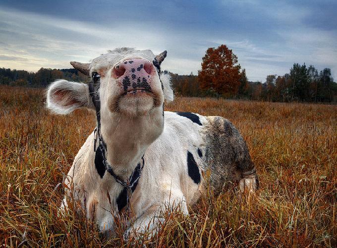 корова с кольцом в носу