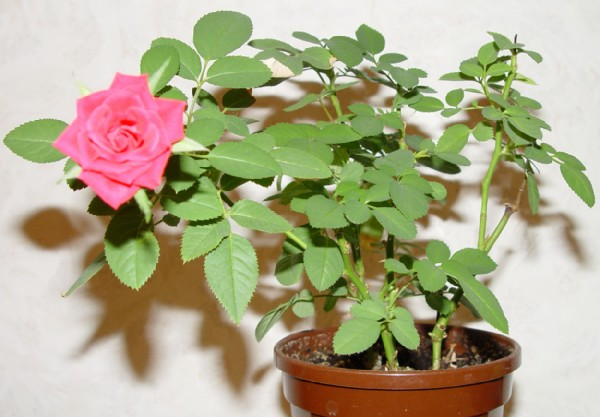 293Комнатные цветы как восковые