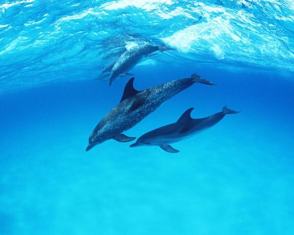 Фотография дельфинов под водой.