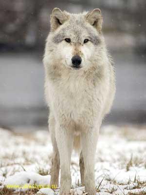 Про злых волков запасный полустанок