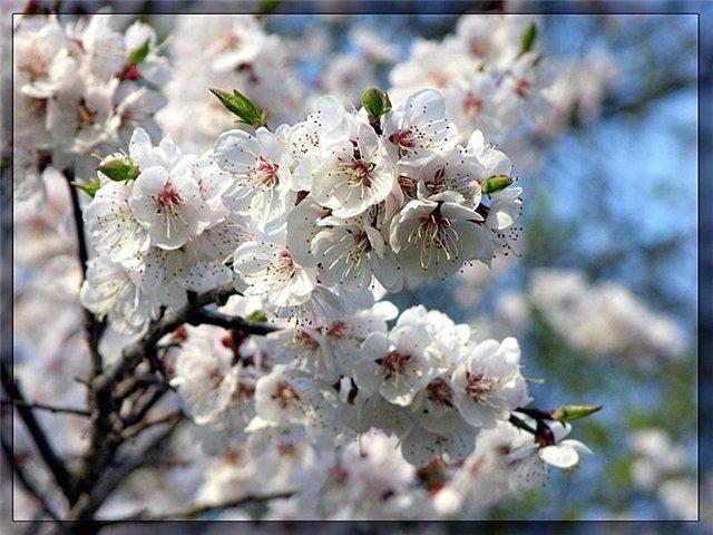 """Схема вышивки  """"Яблоня в цвету """": таблица цветов."""