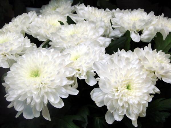 Странно, что до сих пор в этой теме никто не разместил белые хризантемы.