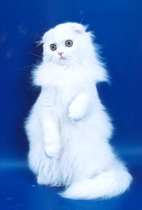 Шотландская вислоухая пушистая кошка