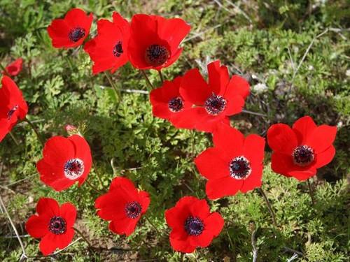 Анемона (ветреница) - многолетнее травянистое растение.