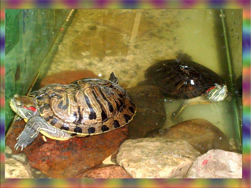 Как живут водяные черепахи в домашних условиях 752