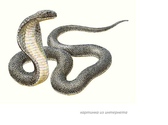 К чему снится кобра женщине