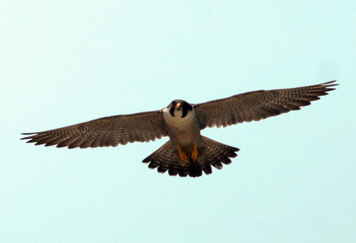 قیمت پرنده قوش عمل موفق پیوند پر یک پرنده   تصاویر