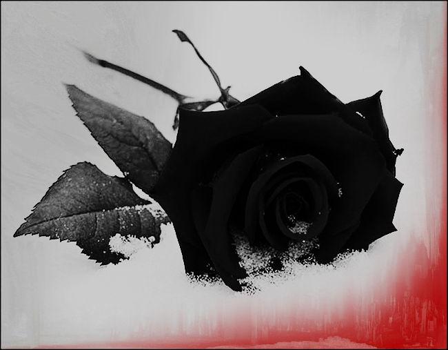 Картинки розы черные на снегу, день гибдд приколы