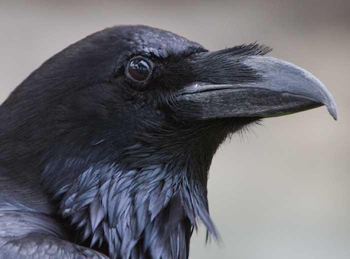 скачать торрент черный ворон - фото 11