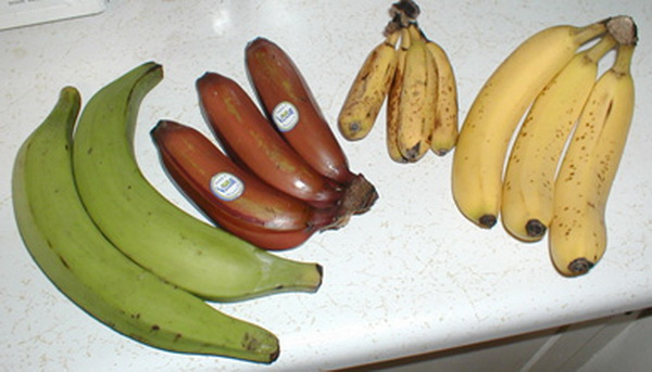 origin of bananas They all trace their history back to one banana, and because of that, they're all sterile farmers must manually cut and plant the roots to grow new fruit.