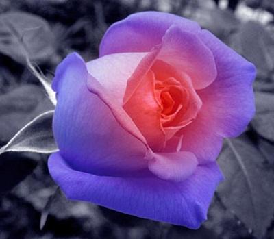 Картинки по запросу голубые розы фото