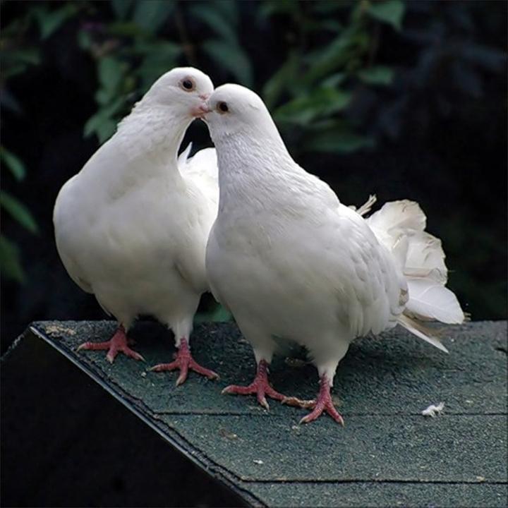 голуби фото целуются
