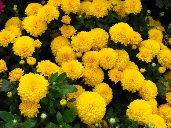 Картинки по запросу желтые хризантемы