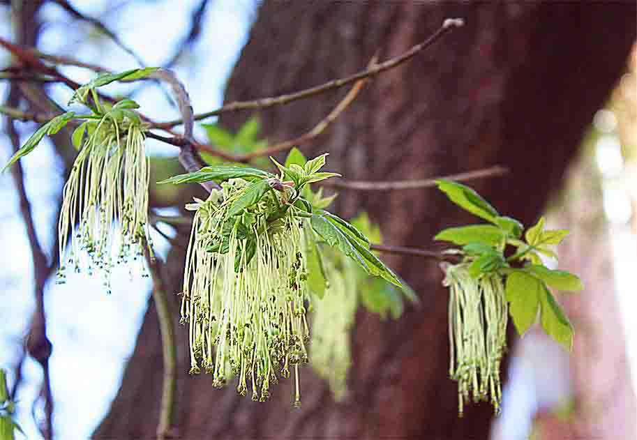 дерево с длинными сережками фото