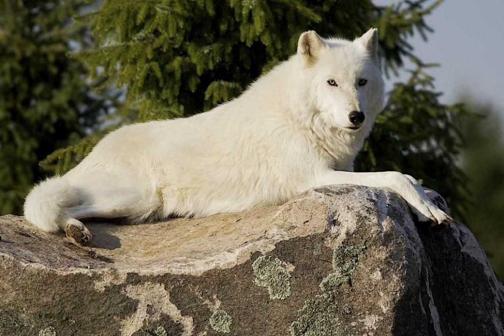фото про волков большие белые мне