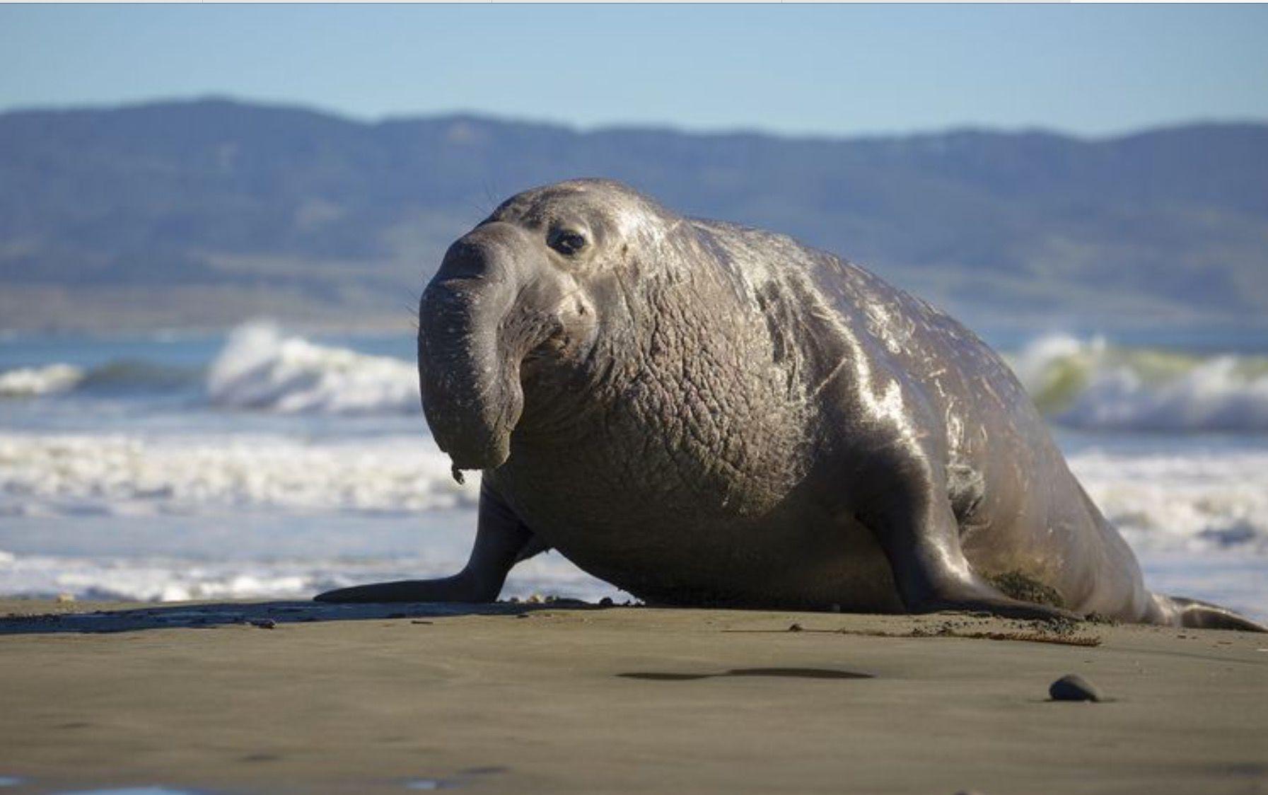 фото морского слона животное ваше поголовье