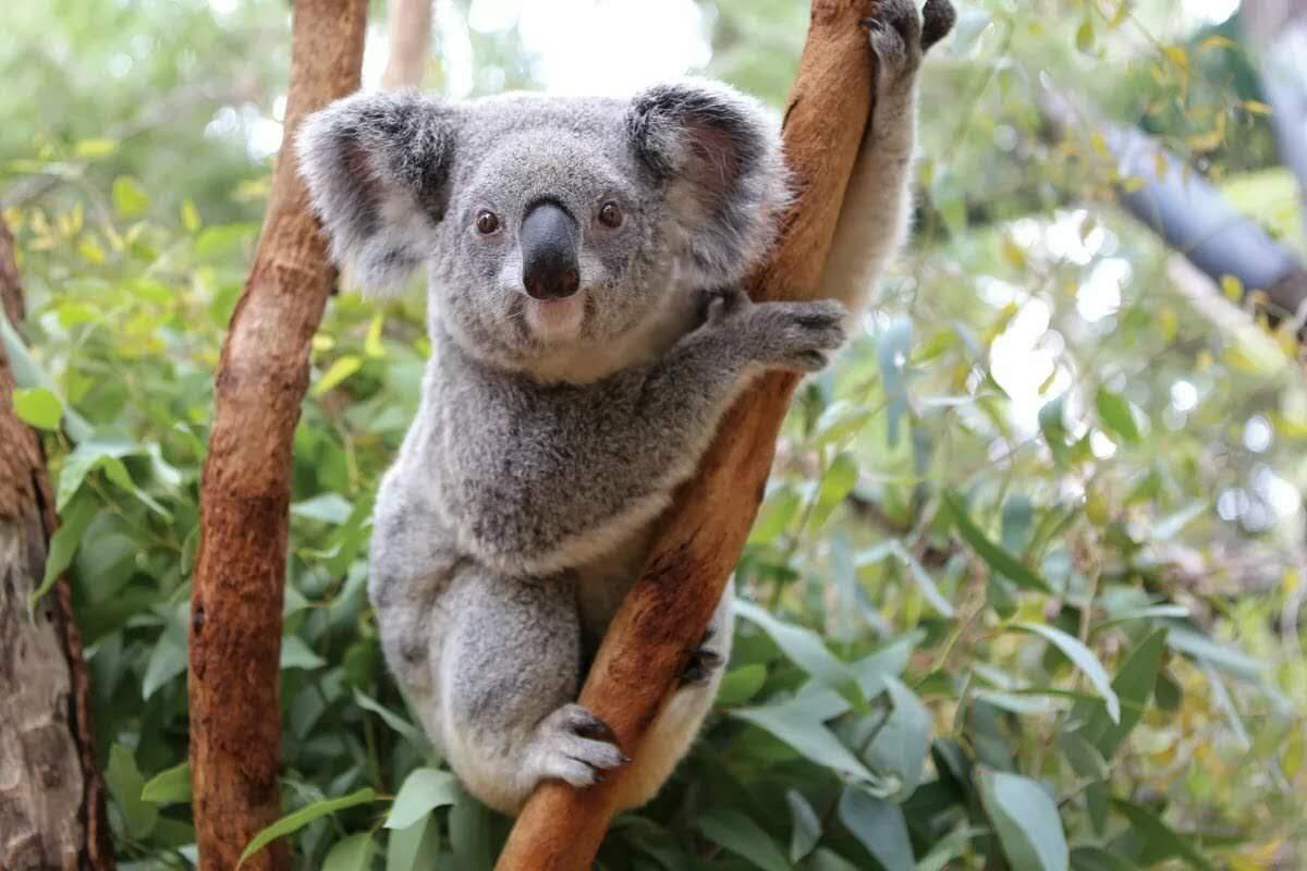 чаше коала животное картинки всегда все
