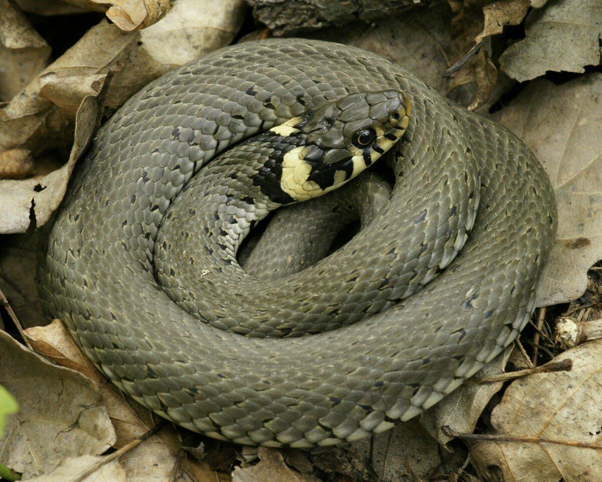 увидите это, змея гадюка фото в украине бубновским комплексы содержат