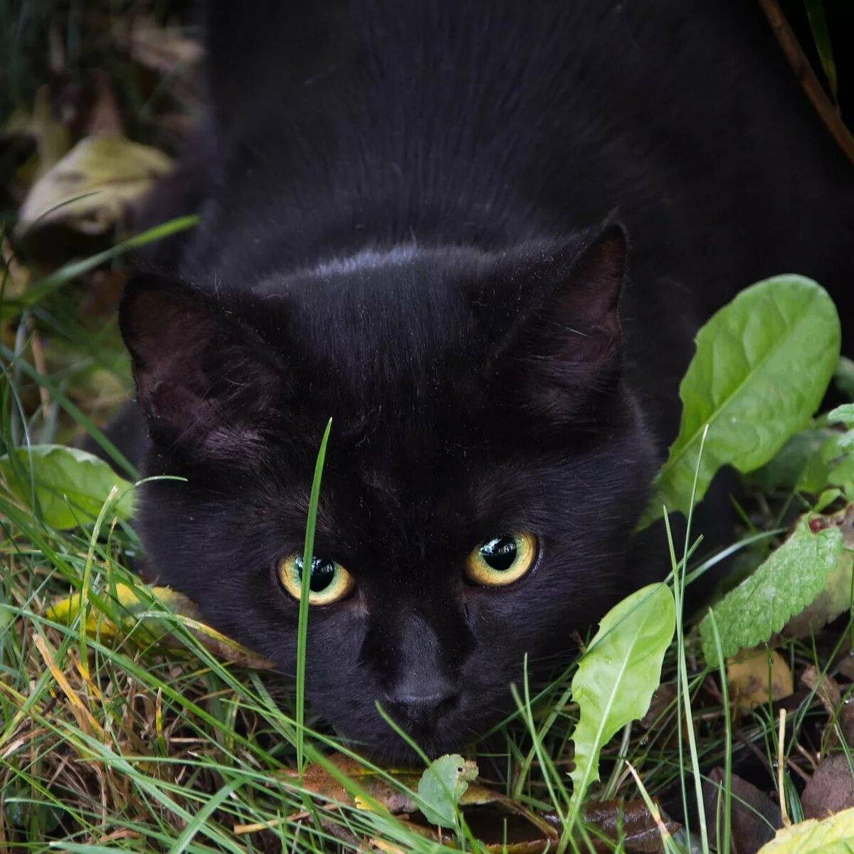 черные приодетые кошки картинки принесла множество